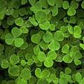 Tìm cỏ 4 lá